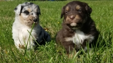 Blue Merle, Male, is on the left; Red Tri, Male, is on the right.