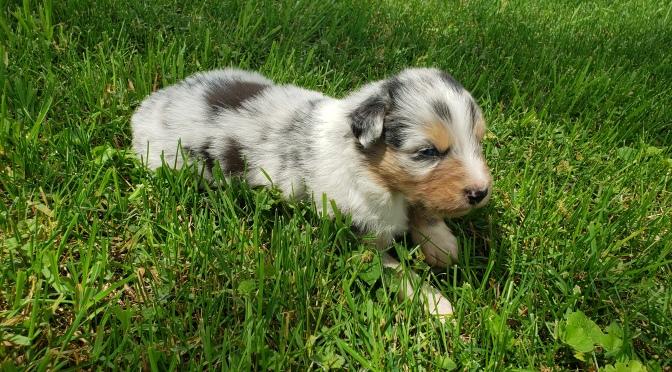 Blue Merle male puppy