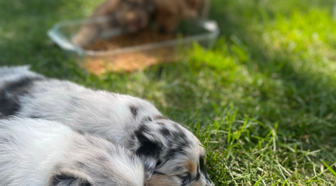 Our Goldens and Aussies hang out – too cute!
